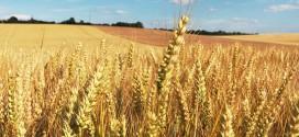 Bléxit, ou comment nos céréaliers français vont quitter l'agriculture