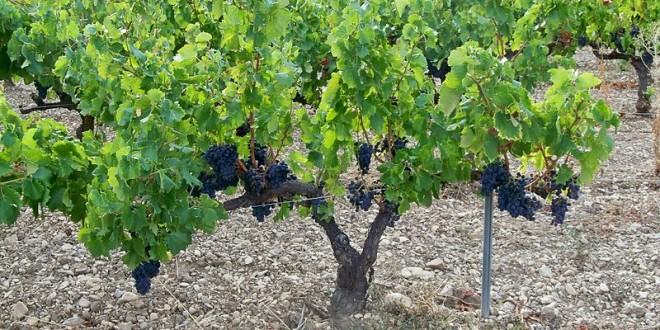 Les viticulteurs du Gard sont en colère